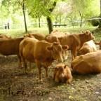 vacas_feria