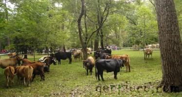 Feria de ganado en el Parque de Alceda 2010